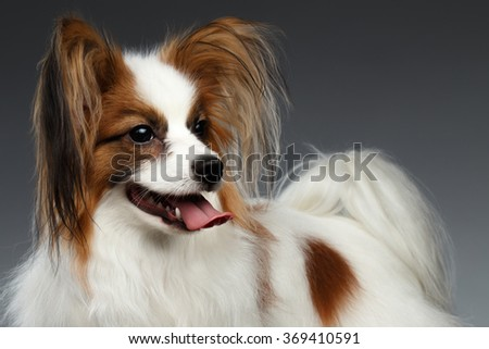 White Papillon Dog Looking at right on black background - stock photo