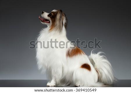 White Papillon Dog Sits on black background - stock photo