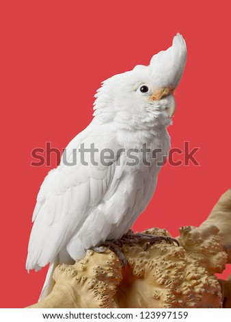 White parrot in a close-up image - stock photo