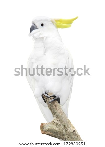 White parrot sitting on a branch Isolated on white background - stock photo