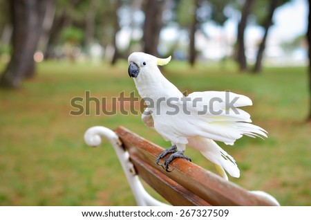 White Parrot - Sulphur-crested cockatoo - Cacatua galerita standing on a a bench in a park - stock photo
