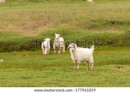 White pashmina goats standing on green grass field - stock photo