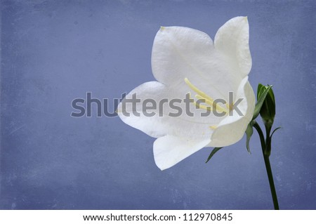 White Peach-leaved Bellflower (Campanula persicifolia) on blue canvas background