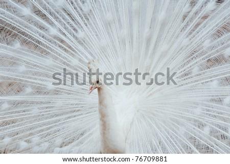 White peacock. - stock photo