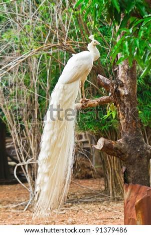 White peacock - stock photo