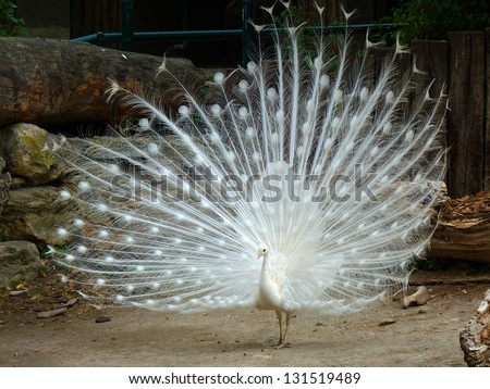 White peacock A white peacock and his wonderful tail. - stock photo