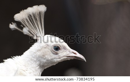 White peacock close up - stock photo
