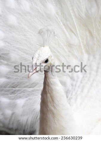 White peacock displaying its feathers