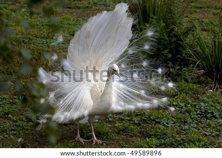 White peacock from England