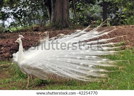 White Peacock in the Wild - stock photo