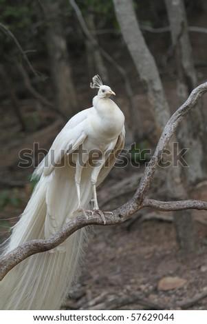 White Peacock Island on the stick. - stock photo