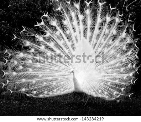 white peacock shows its tail - stock photo