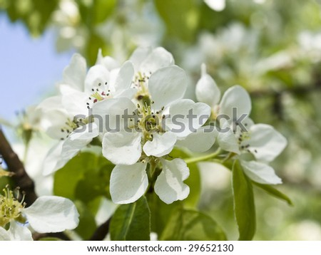 white pear blossoms on a tree branch - stock photo