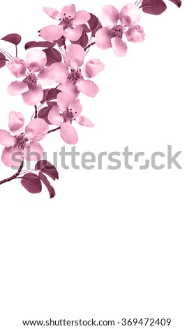 White pear flowers branch isolated on white background