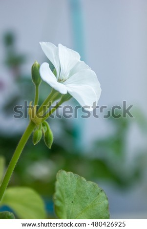 White pelargonium flower, geranium, home plant on grey background