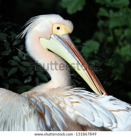 White pelican cleaning his feathers with its beak - stock photo