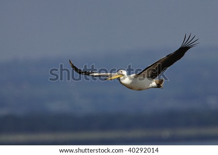 White Pelican in flight in Lake Nakuru National Park, Kenya.