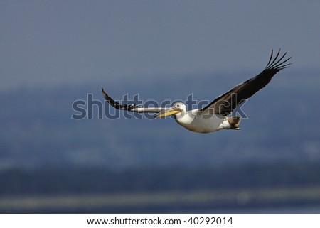 White Pelican in flight in Lake Nakuru National Park, Kenya. - stock photo