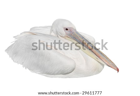 White Pelican isolated - Pelecanus onocrotalus - stock photo