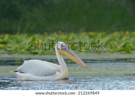 White Pelican on water in Danube Delta - stock photo