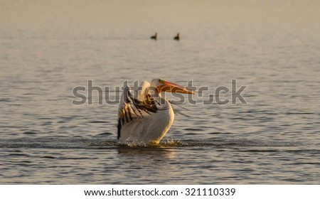 White Pelican (Pelecanus erythrorhynchos) making a splashdown landing in bay along Gulf of Mexico.  Nice setting sun light. - stock photo