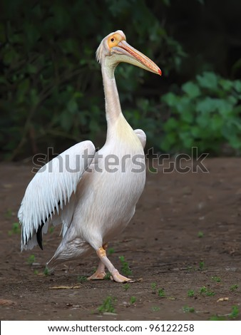 White pelican (Pelecanus onocrotalus) stands on the ground, close-up - stock photo