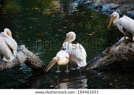 White pelican reflecting in water - stock photo