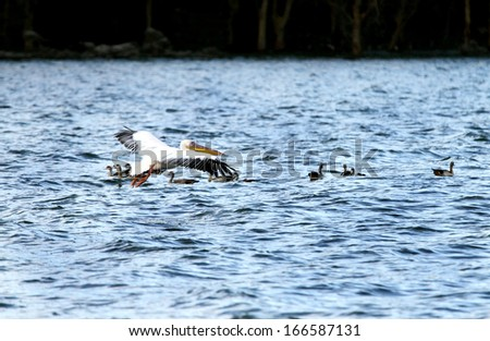White Pelicans above water - stock photo