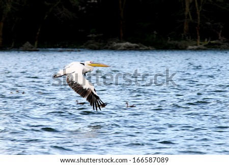 White Pelicans above water showing its wingspan - stock photo