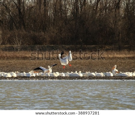 White pelicans on a pond; one pelican is landing. - stock photo