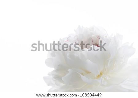 white peony - stock photo