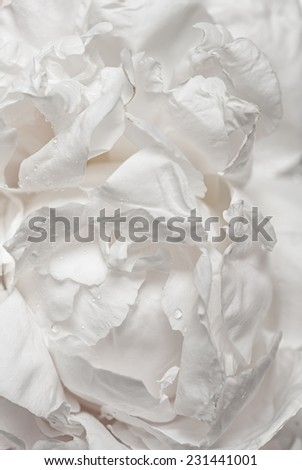 White peony flower  creates supper soft and gentle background - stock photo