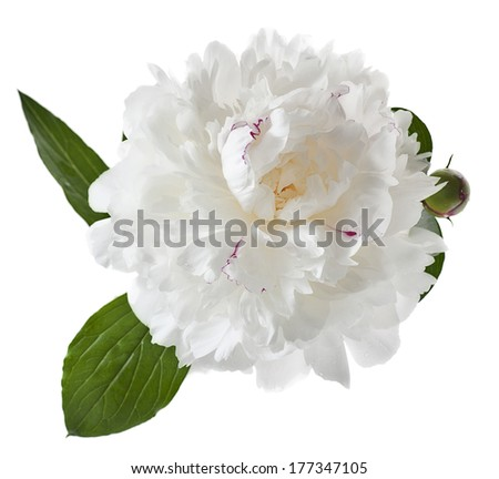 white peony isolated on white background - stock photo