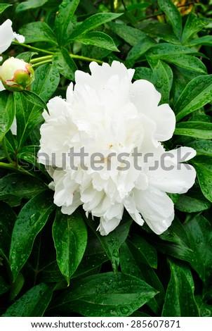 white peony vertical - stock photo