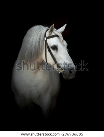 white percheron stallion in bridle over a black background