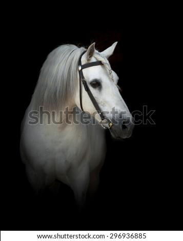white percheron stallion in bridle over a black background - stock photo