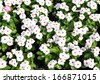 White Periwinkle flowers in garden  - stock photo