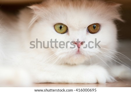 white persia cat