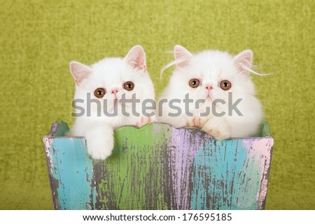 White Persian and white Exotic kitten sitting inside painted wooden box against lime green background - stock photo