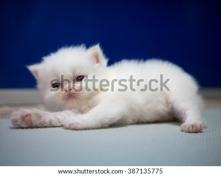 White Persian cat kitten is laying on blue background  - stock photo