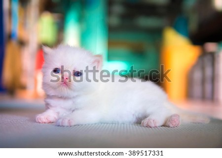 White Persian cat kitten is laying on colorful background  - stock photo