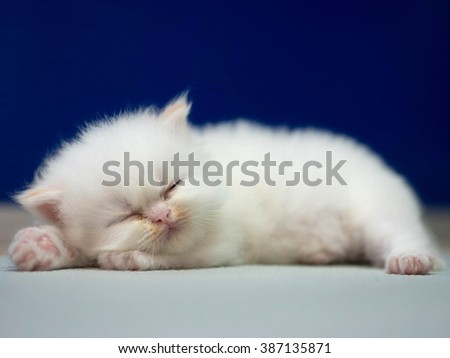 White Persian cat kitten is sleeping on blue background  - stock photo