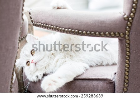 White persian cat lies on the chair - stock photo