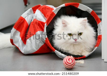 White persian cat playing with toys - stock photo