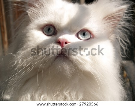White persian cat surprised looking to above