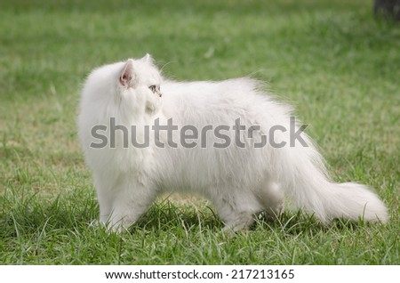 White persian cat walking on green grass