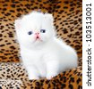 White persian kitten - stock photo