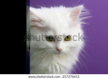 White persian kitten hiding behind - stock photo
