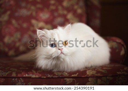 White Persian on a Flower Patterned Chair - stock photo