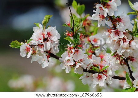 White petals of a nanking cherry blossoms in April - stock photo